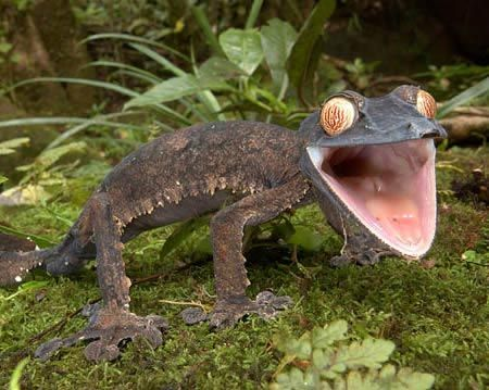 listohvostyy gekkon1 Листохвостый геккон