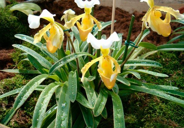 Пафиопедилум орхидея фото