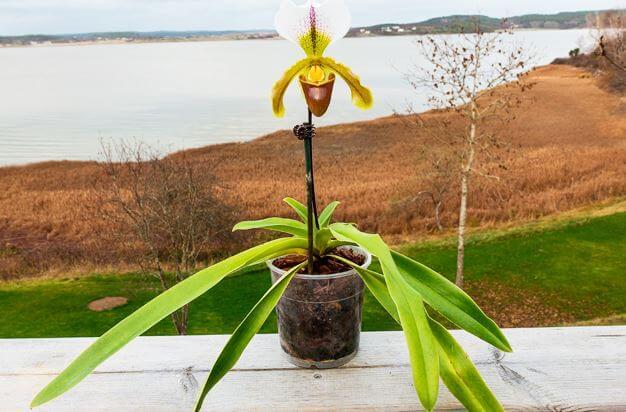 Вазон с орхидеей пафиопедилум