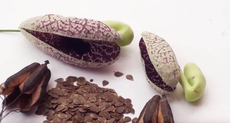 Семена аристолохии