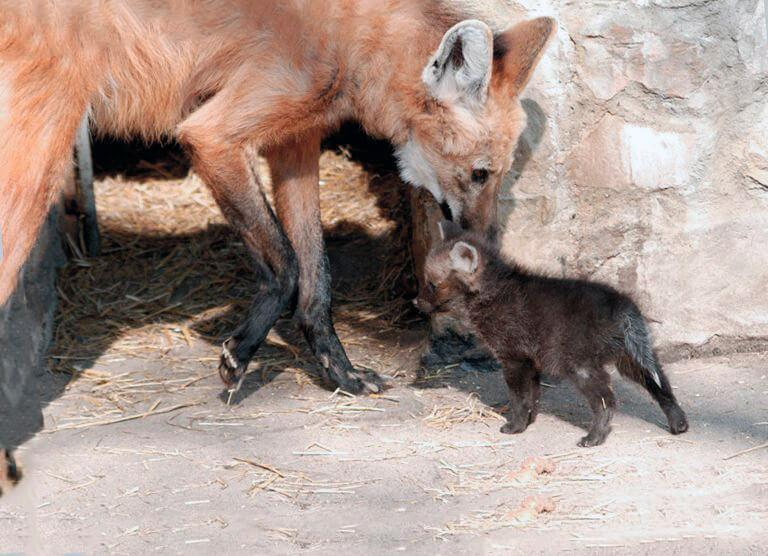 Семья гривистого волка