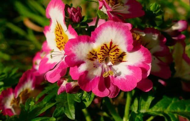 Схизантус красно-белый