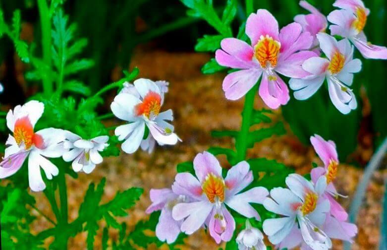 Схизантус с нежными цветами