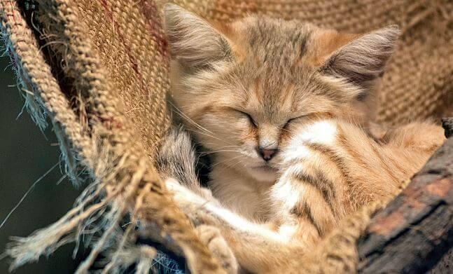 Спящая Барханная кошка