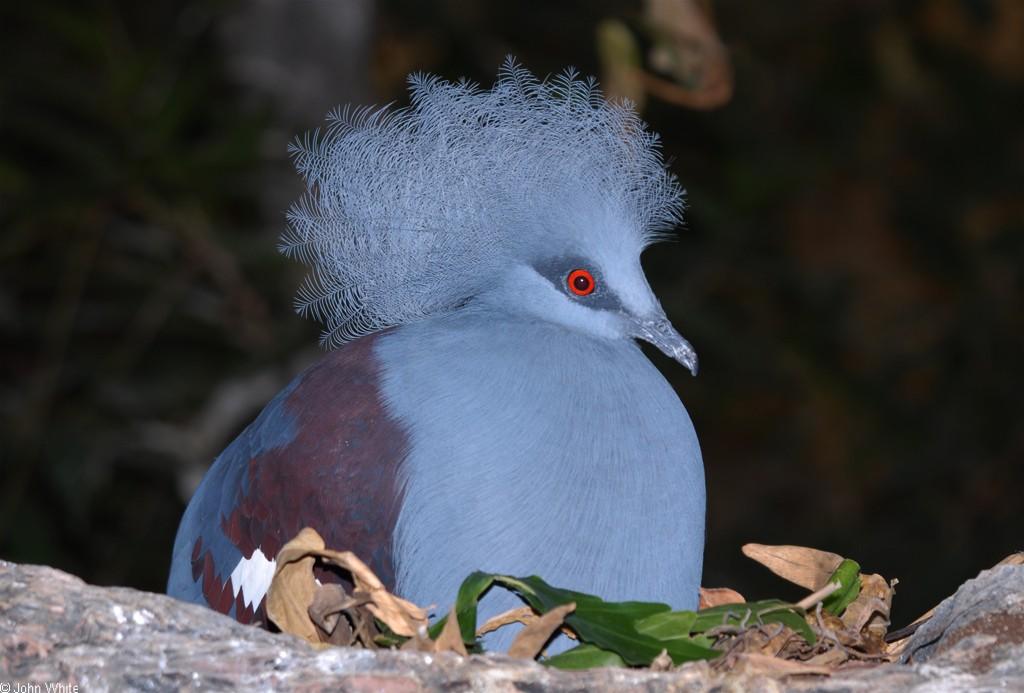 vencenosnyy-golub