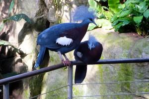 vencenosnyy golub2 300x200 Венценосный голубь