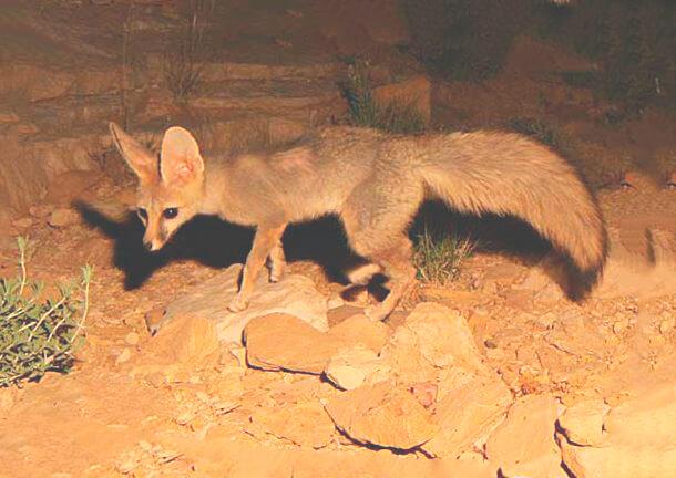 Убежище афганских лисиц
