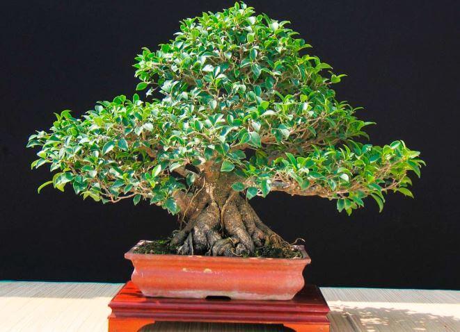 Ficus microcarpa бонсай