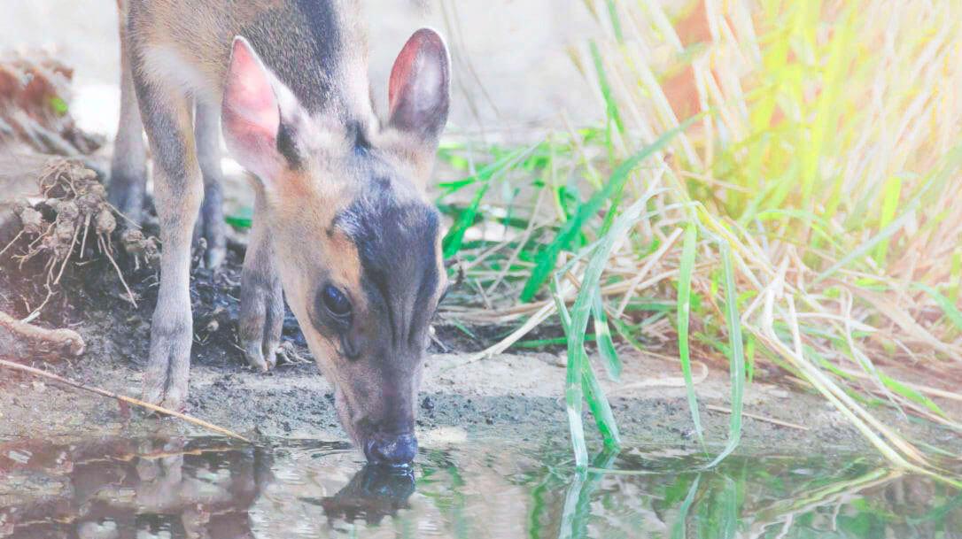 Водопой индийского мунтжака