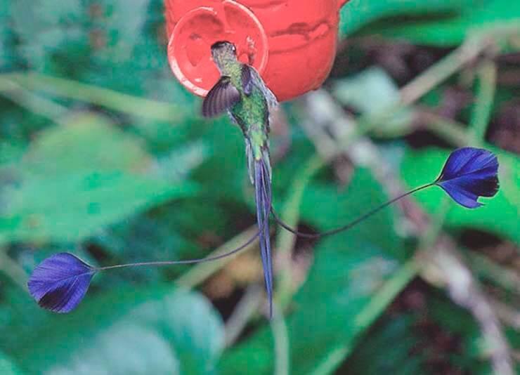 Ракетохвостый колибри собирает нектар