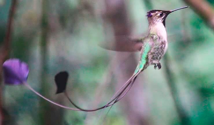 Полёт ракетохвостого колибри