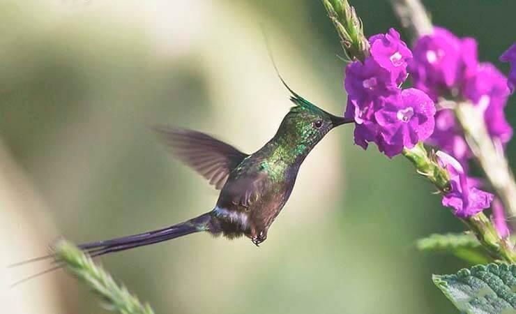 Ракетохвостый колибри фото