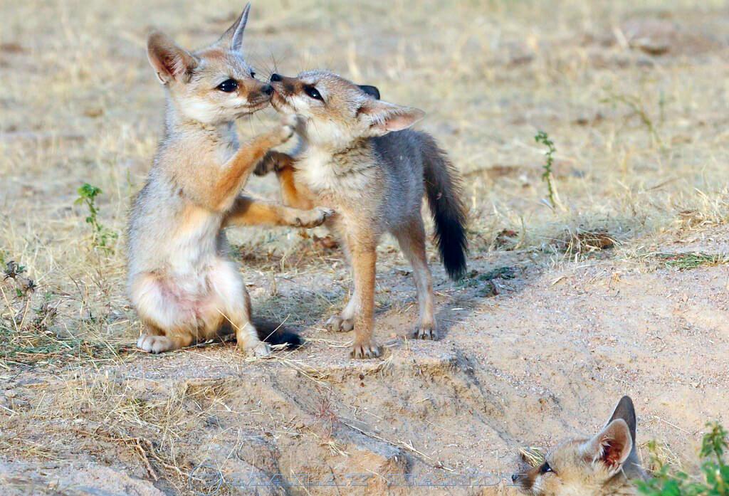 Щенки афганской лисицы