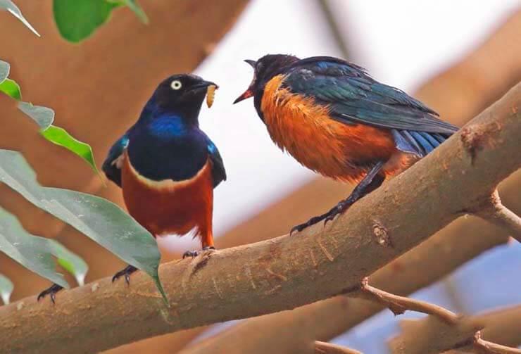 Скворец великолепный кормит птенца