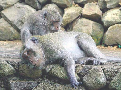 Релаксация яванского макака