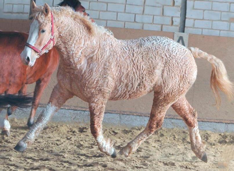 Американская кучерявая лошадь фото