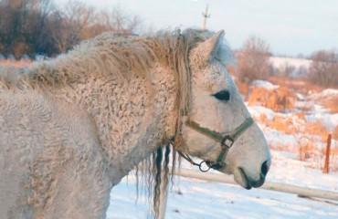 Американская кучерявая лошадь