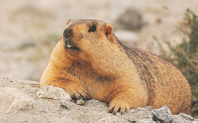 Marmota himalayana