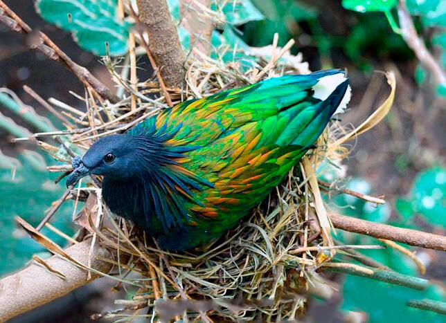 Гнездо гривистого голубя