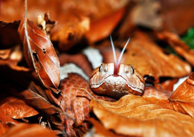 Медноголовый щитомордник фото