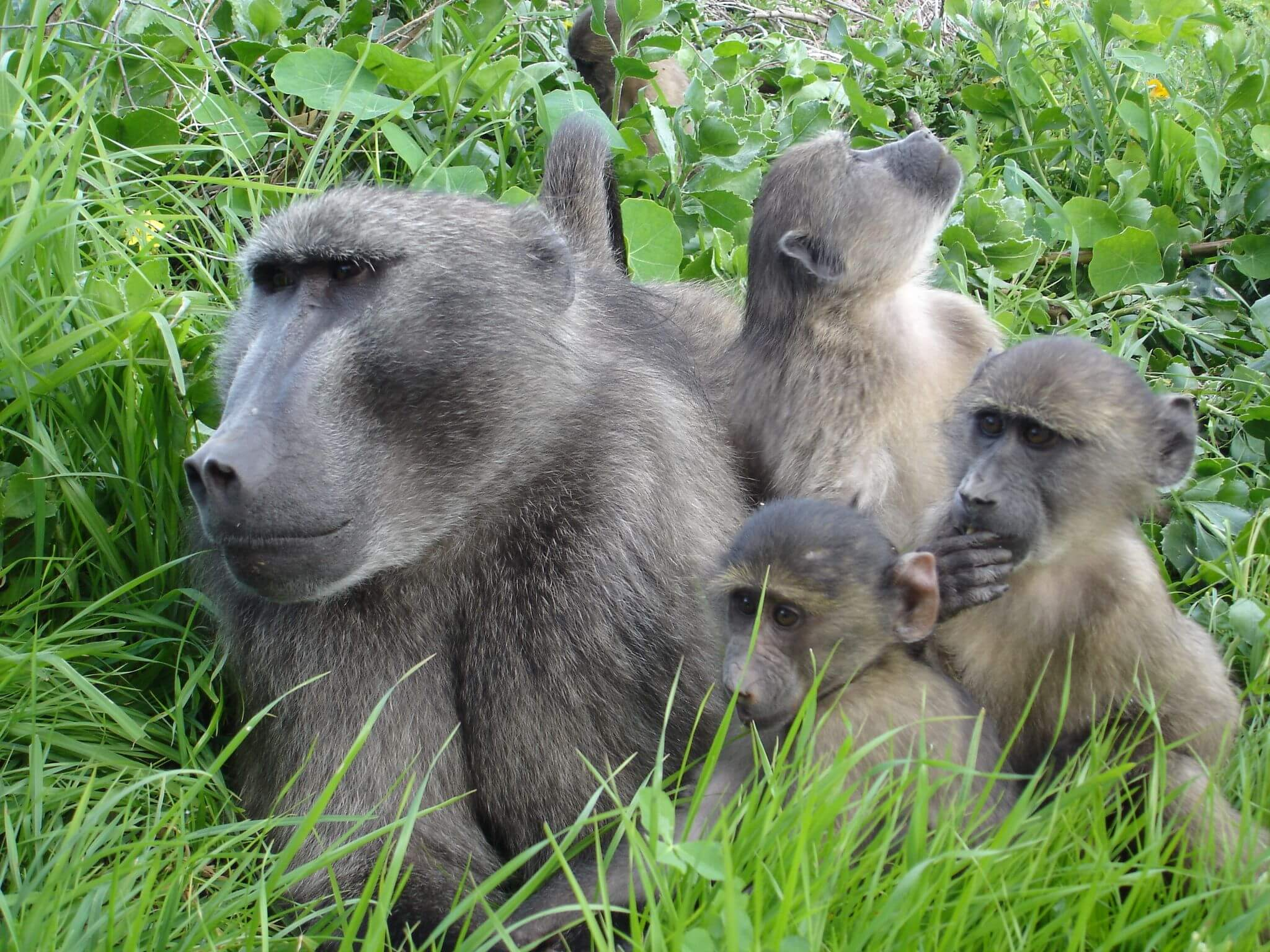 medvezhiy babuin podayot signal Медвежий бабуин