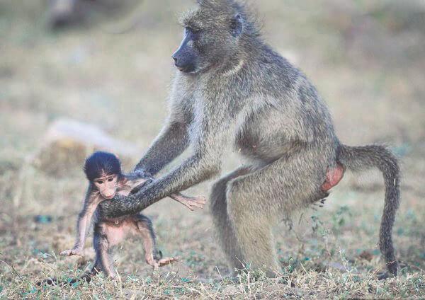 medvezhiy babuin s detyonyshem Медвежий бабуин