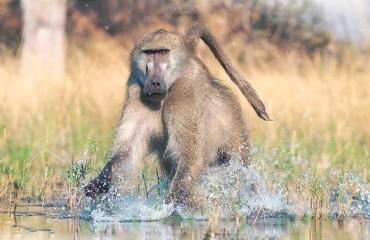 Ведмежий бабуїн, або чакма