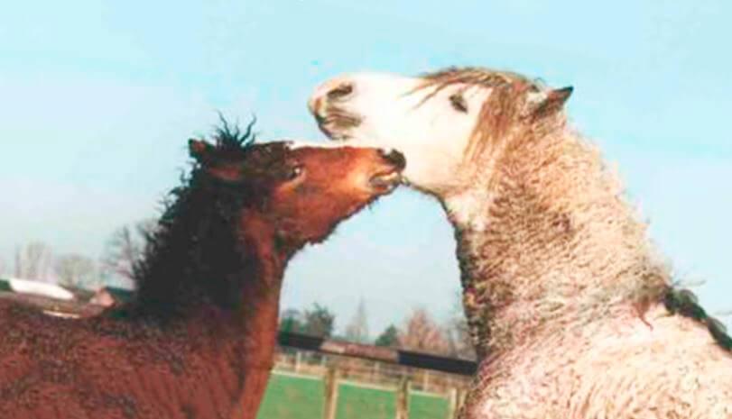 Пара американских кучерявых лошадей