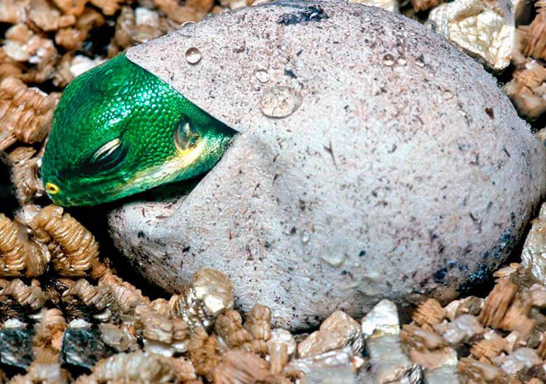 Яйцо полосатой фиджийской игуаны