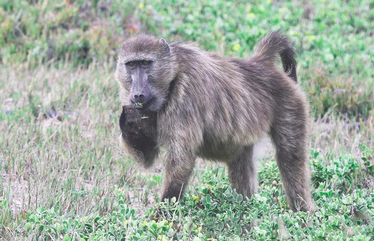Медвежий бабуин фото