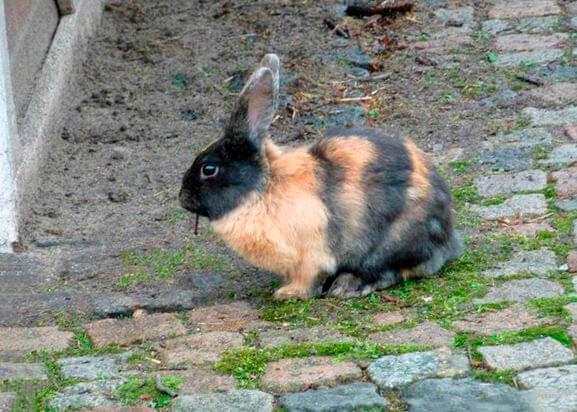 Японский кролик фото