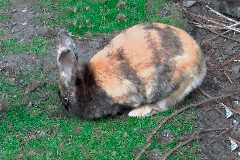 Японский кролик на пастбище