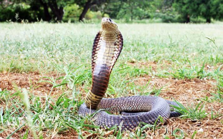 egipetskaya kobra 1 Египетская кобра