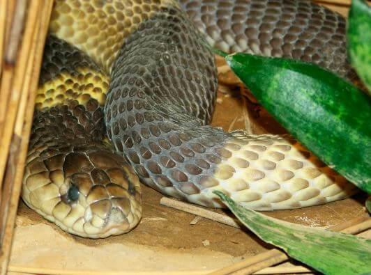 Фото египетской кобры