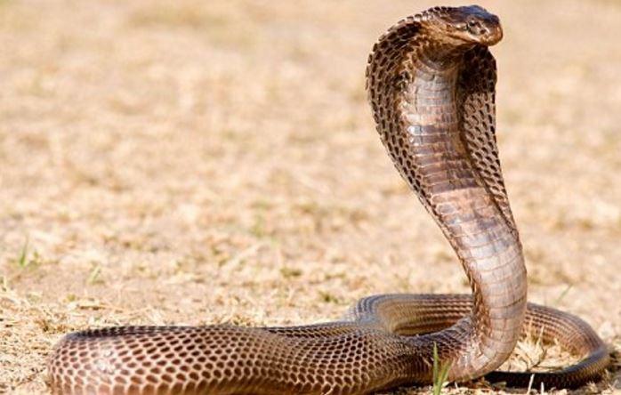 egipetskaya kobra1 Египетская кобра