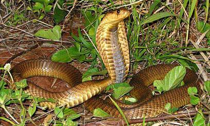 egipetskaya kobra2 Египетская кобра