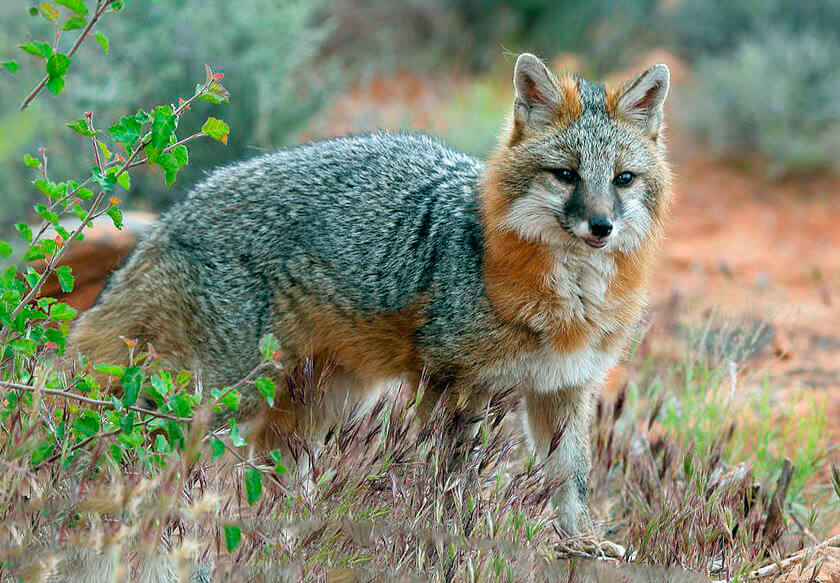 Бразильская лисица фото
