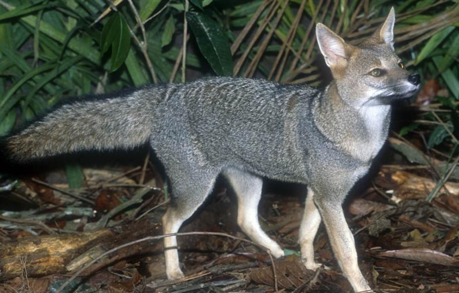 brazilskaya lisica Бразильская лисица