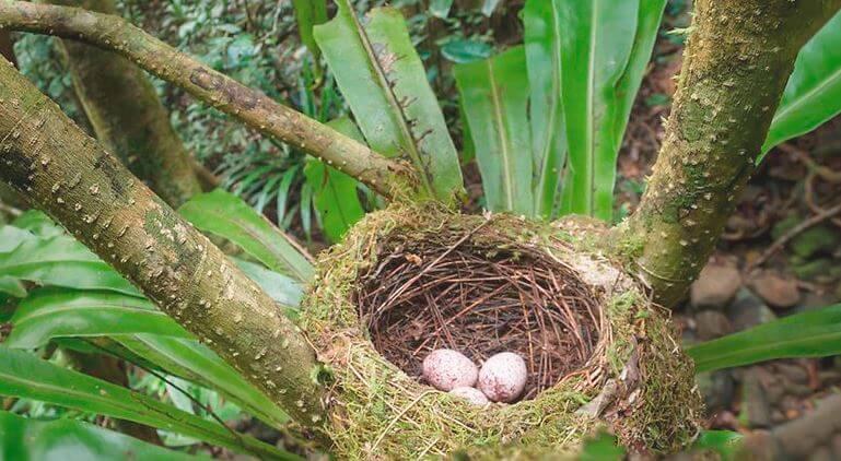 Гнездо шлемоносной ванги