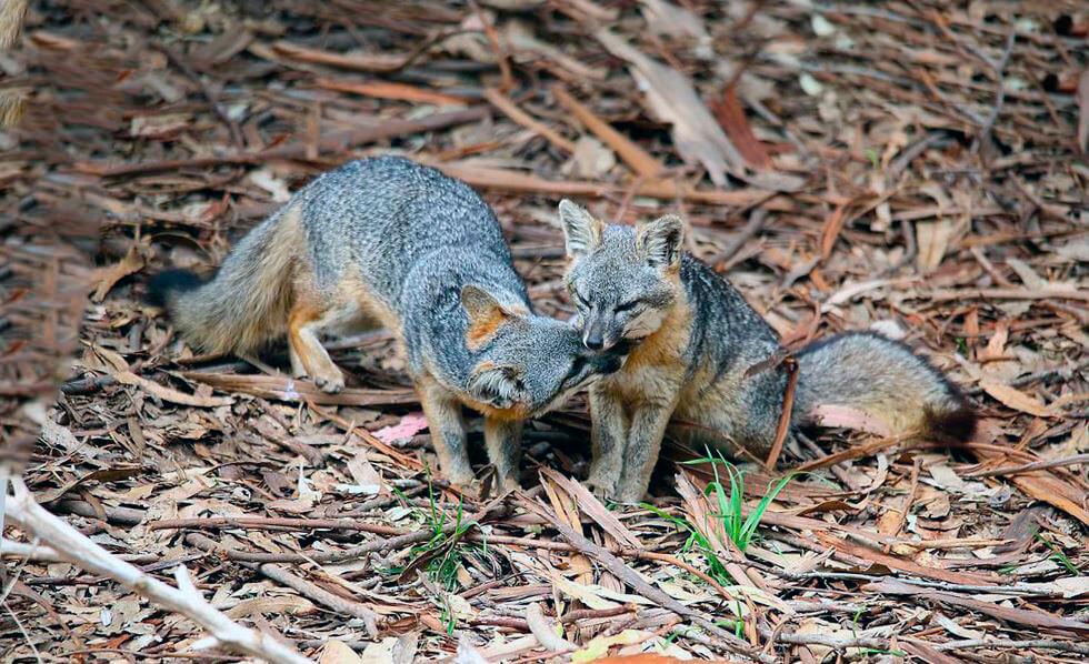 Пара бразильских лисиц