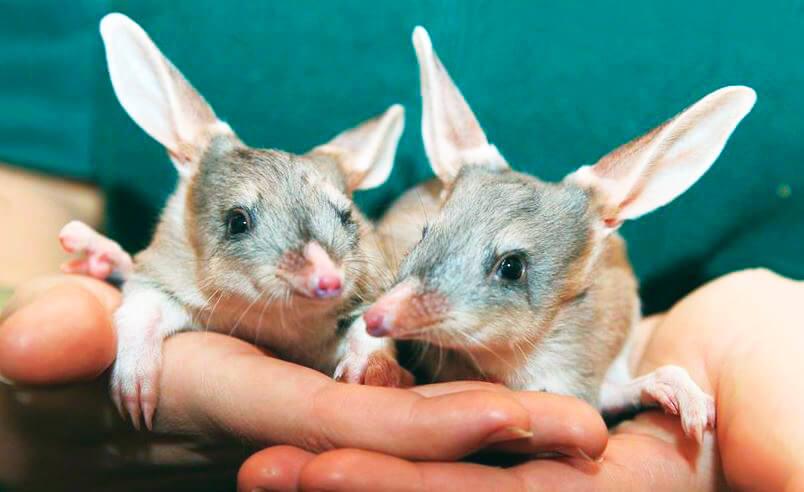 Картинка с кроличьими бандикутами