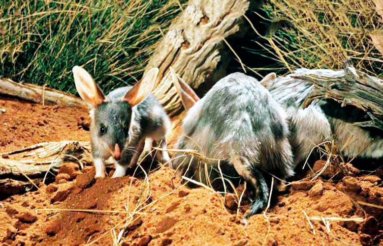 Семейство кроличьих бандикутов