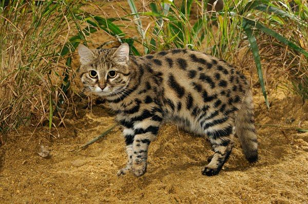 chernonogaya koshka Черноногая кошка
