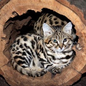 chernonogaya koshka1 Черноногая кошка
