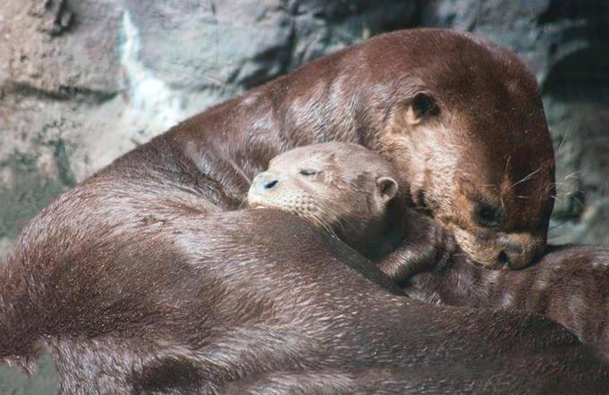 Самка гигантской выдры с детёнышем