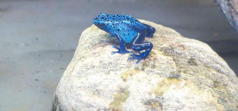 Голубой древолаз фото