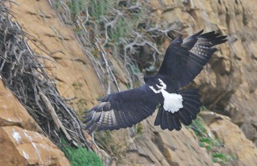 Кафрский орел