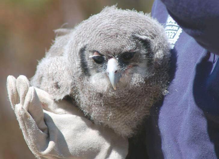Птенец кафрского орла