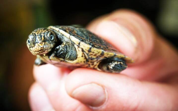 Большеголовая черепаха фото