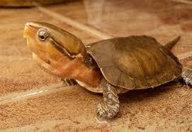 bolshegolovaya cherepaha1 Большеголовая черепаха